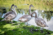 swans-at-painshill-park