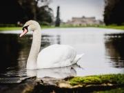 swans-at-wrest-park-bedfordshire